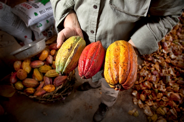 This is the first time Viet Nam has officially exported organic cocoa to the choosy Japanese market. — Photo marouchocolate.com